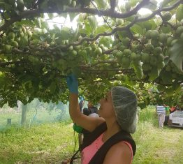 NZ Munch'n™ Kiwiberry harvest underway