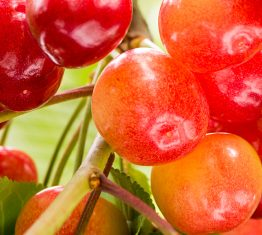 Ambitious Objectives for New Zealand Cherries
