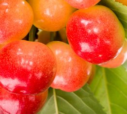 Starletta™ cherry harvest under way