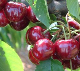 Lani™ cherry harvest underway