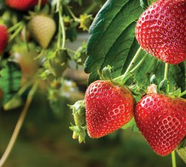 Freshmax announce exclusive strawberry IP deal
